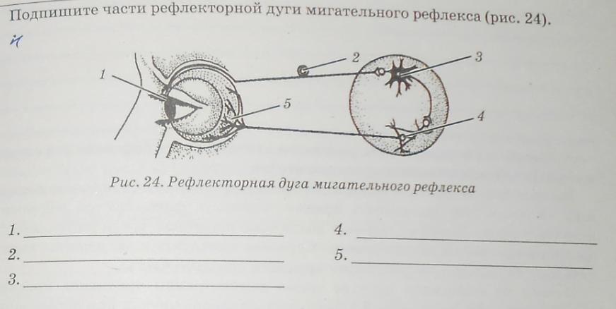мария рефлекторная дуга мигательного рефлекса рисунок павлова писала главном