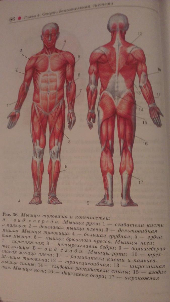Лабораторная работа за 8 класс мышцы человеческого тела